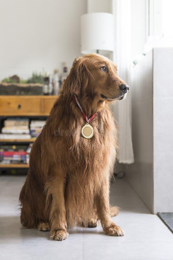 Golden retriever portant des médailles photographie stock libre de droits
