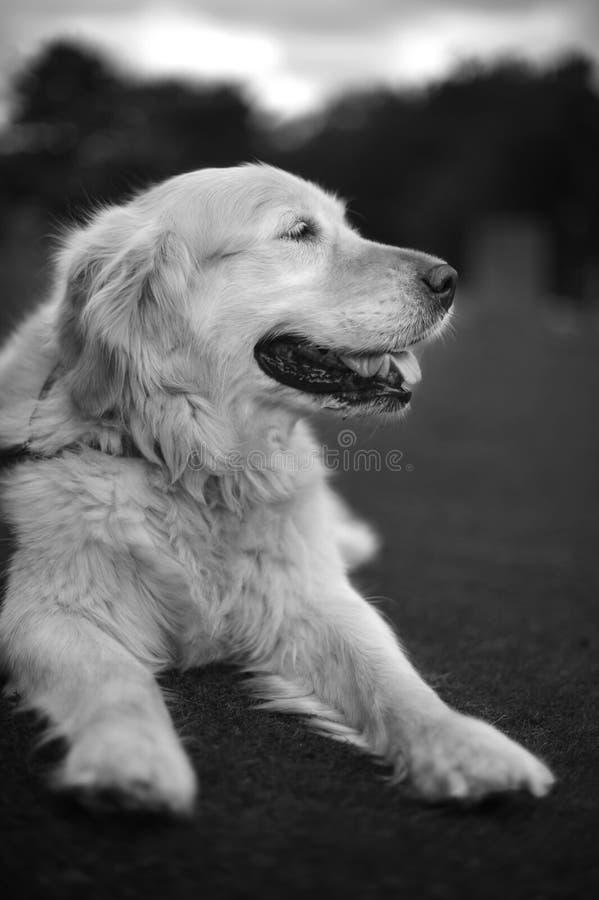 Golden Retriever Portrait stock photography