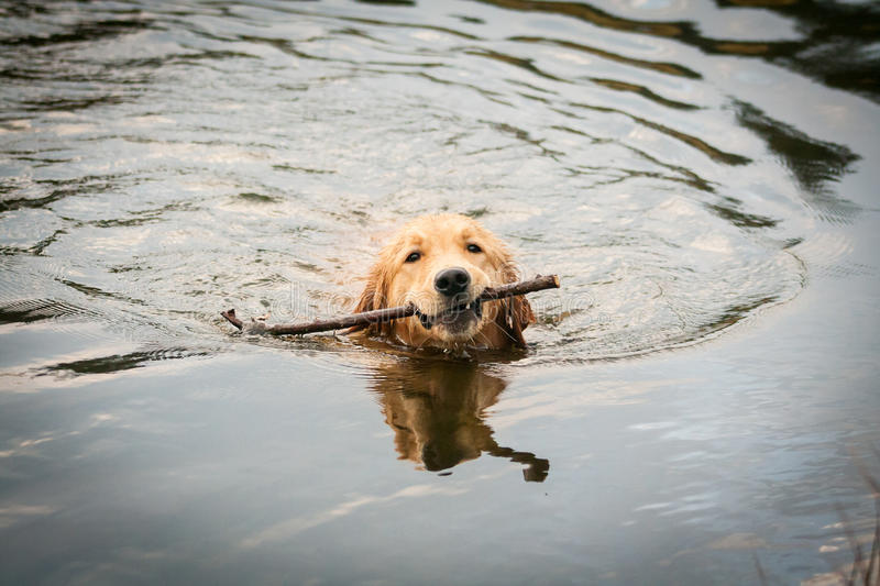 Golden Retriever Puppy Swimming On A Lake Stock Image