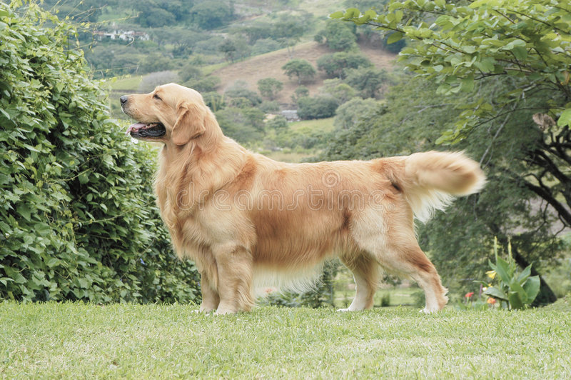 Golden retriever posing. Like in a dog show stock image