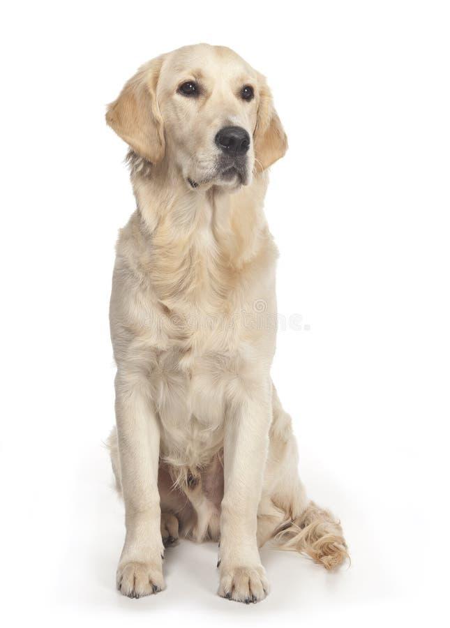Golden Retriever Posing In A Studio Royalty Free Stock Photos
