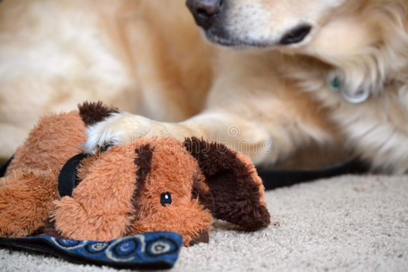 Golden Retriever Possessive of Toys. An adult golden retriever has pawn on a stuffed dog toy royalty free stock image