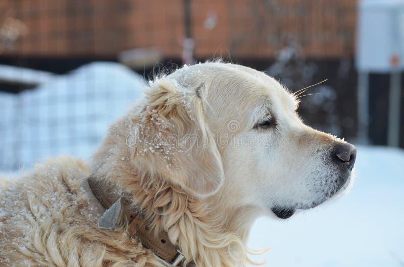 Golden retriever psi i pierwszy śnieg zdjęcie stock