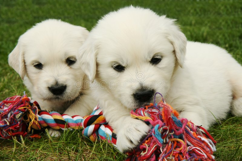 Download Golden Retriever puppies stock image. Image of play, playing - 5199301