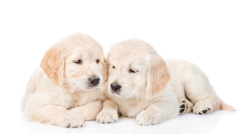 Golden retriever puppies lying together. isolated on white royalty free stock photos