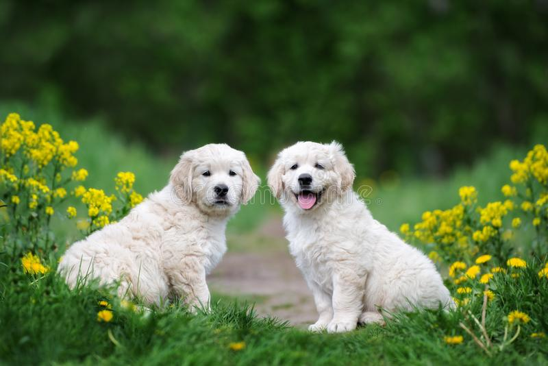 Adorable golden retriever puppies outdoors in summer. Golden retriever puppies posing outdoors in summer stock image