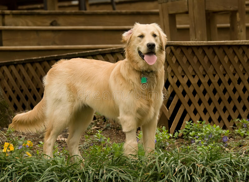 Golden retriever pupppy royalty free stock images