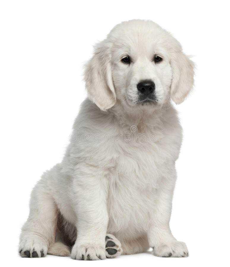 Golden Retriever Puppy, 10 Weeks Old, Sitting Royalty Free Stock Image