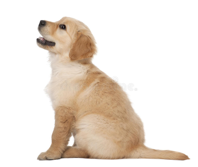Golden Retriever puppy, 2 months old, sitting royalty free stock photos