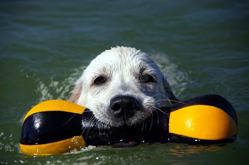 Golden retriever puppy 4 royalty free stock photography