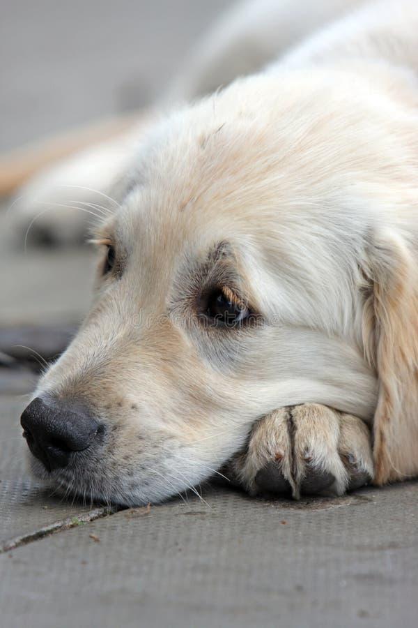 Download Golden Retriever puppy stock photo. Image of pretty, pavement - 7050302