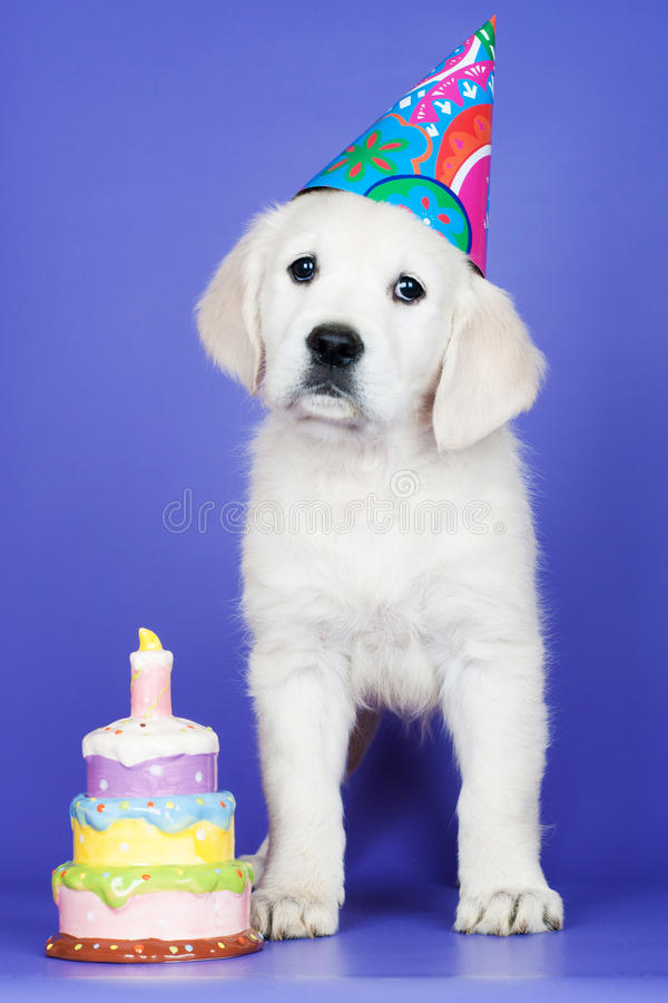 Adorable golden retriever puppy birthday card royalty free stock photos