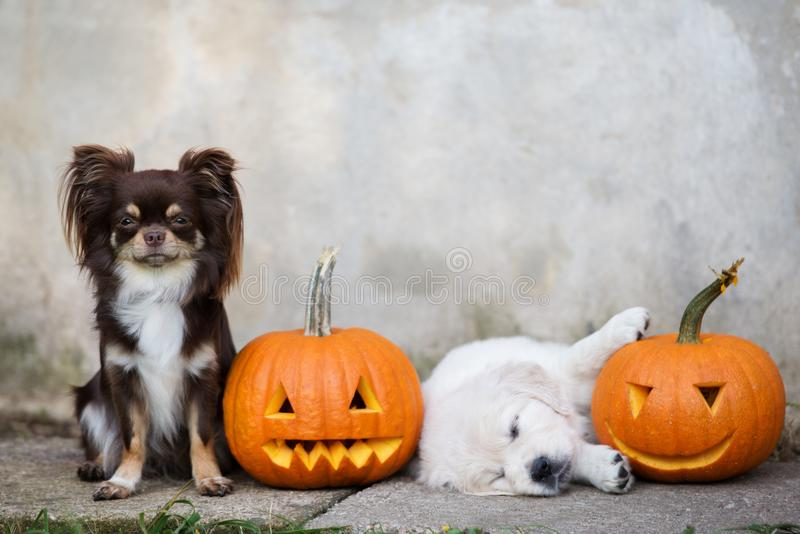 Chihuahua dog and golden retriever puppy with pumpkins. Golden retriever puppy and chihuahua dog royalty free stock photos