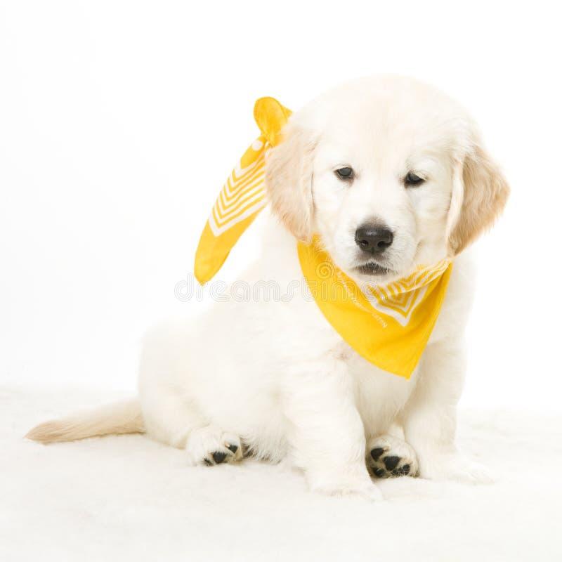 Golden retriever puppy dog stock image