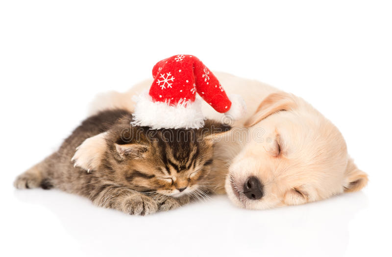 Golden retriever puppy dog and british cat with santa hat sleep. isolated on white royalty free stock photography