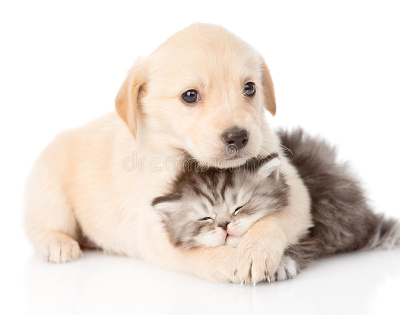 Download Golden Retriever Puppy Dog Hugging British Cat. Isolated Stock Image - Image of couple, adorable: 55537777