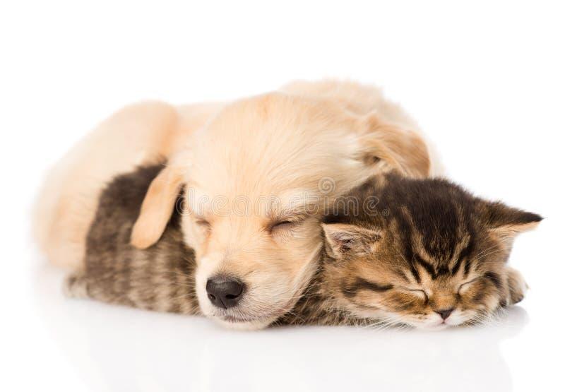 Golden retriever puppy dog sleep with british kitten. isolated stock photography