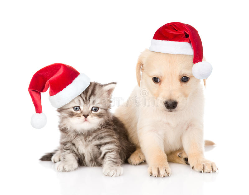 Golden retriever puppy dog and tabby cat with red christmas hats sitting together. isolated on white background.  royalty free stock photo