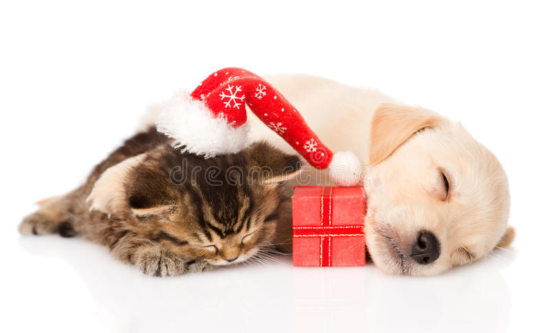 Golden retriever puppy dogand british cat with santa hat and gift. isolated stock image
