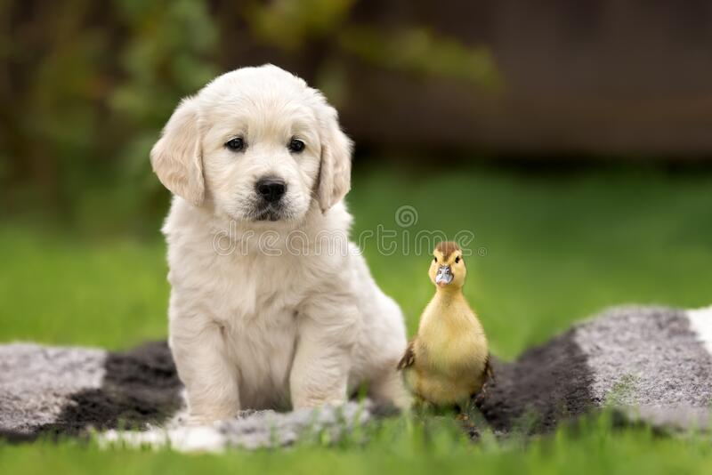 golden retriever puppy and duckling portrait outdoors stock photo