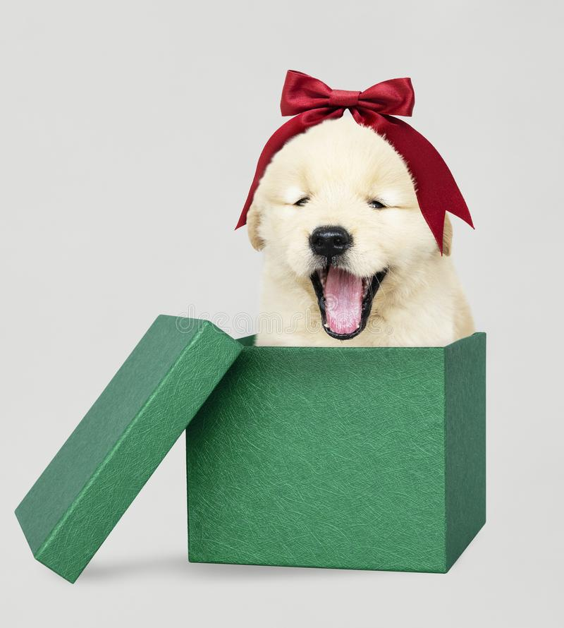 Golden Retriever puppy in a green Christmas gift box stock photo
