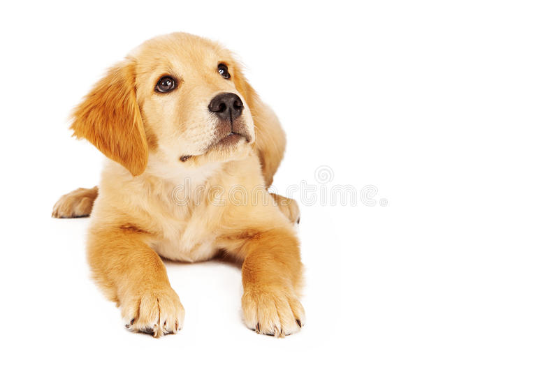 Golden Retriever Puppy Laying Down and Looking Up. A cute twelve week old Golden Retriever puppy laying against a white background and looking up. Photo has stock images