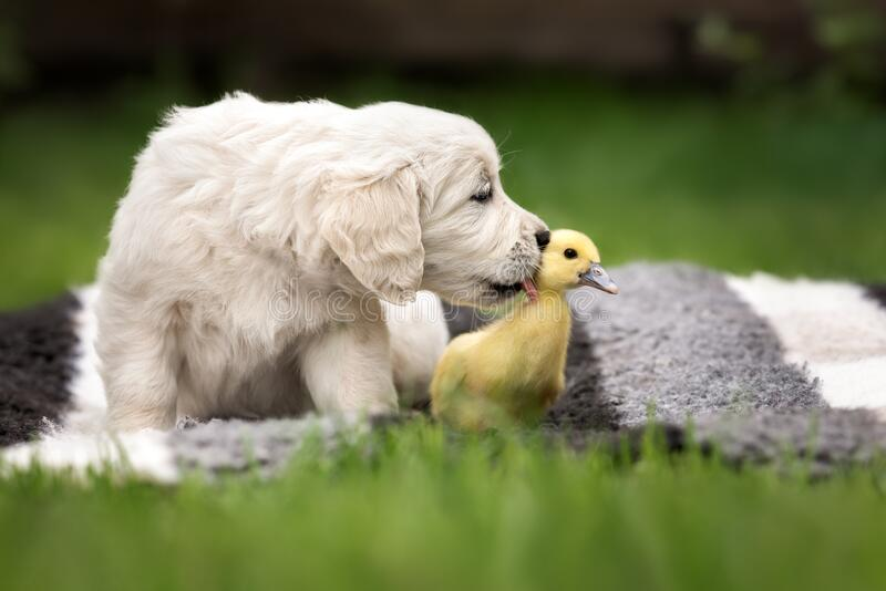 golden retriever puppy licking a duckling outdoors royalty free stock photos