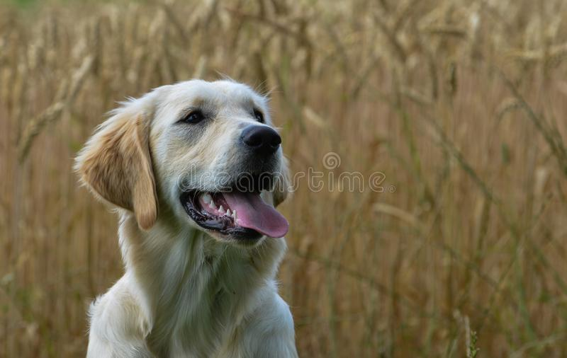 Golden Retriever Portrait in front of a cornfield. Golden Retriever puppy Portrait in front of a cornfield stock images