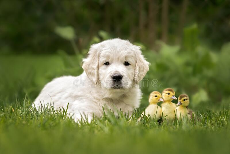 golden retriever puppy posing with ducklings in summer stock images