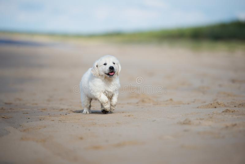 Golden retriever puppy running on a beach stock image