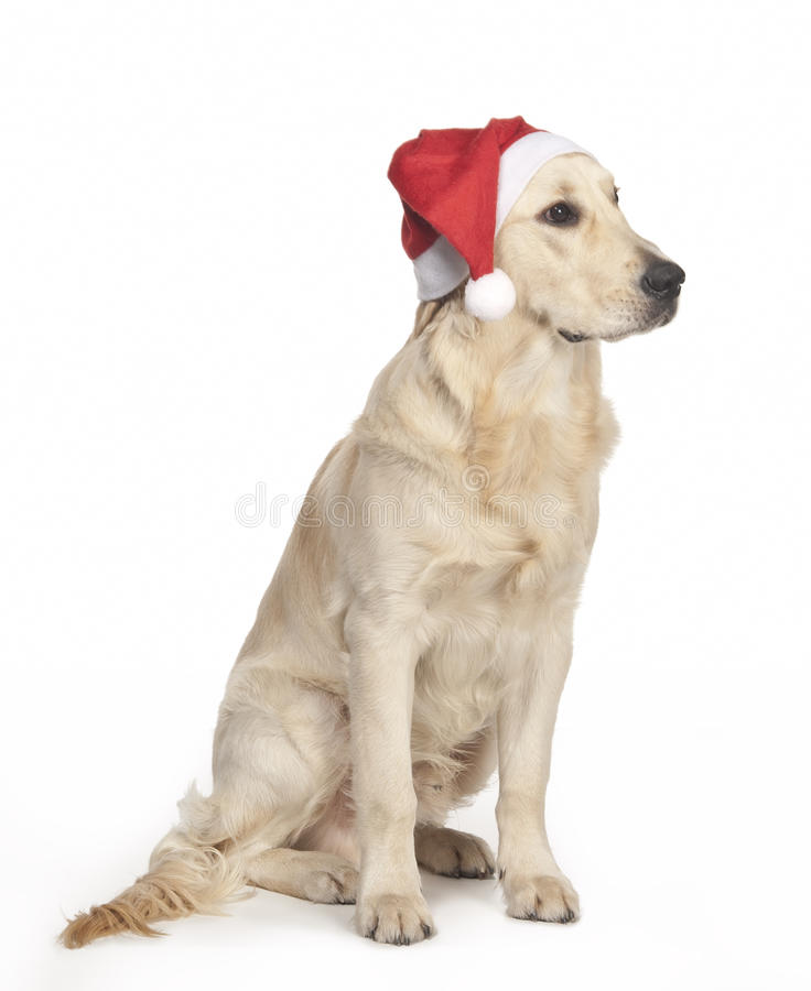 Golden retriever puppy in a Santa Claus hat royalty free stock photography