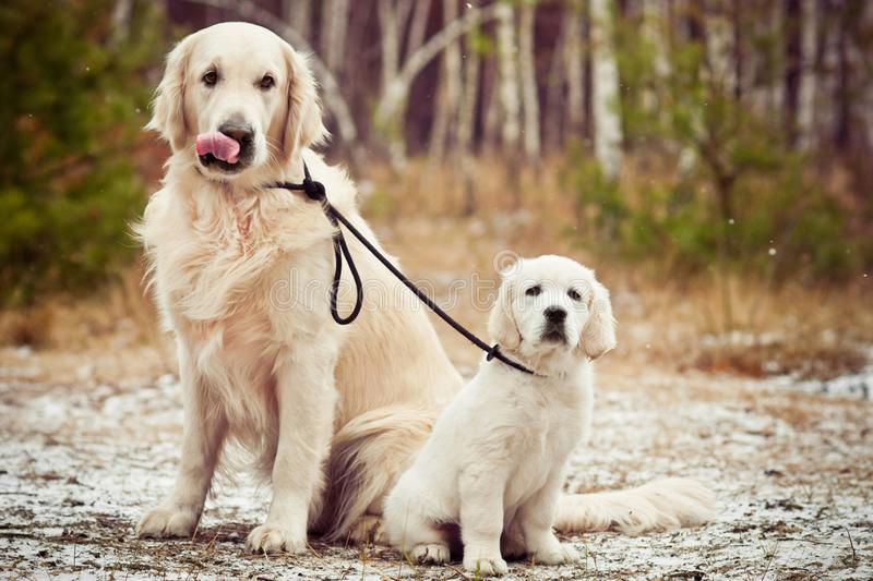 Golden retriever and puppy sitting in winter forest stock photos