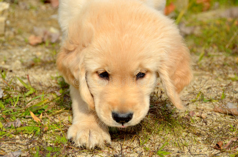 Golden Retriever Puppy Sniffing royalty free stock image
