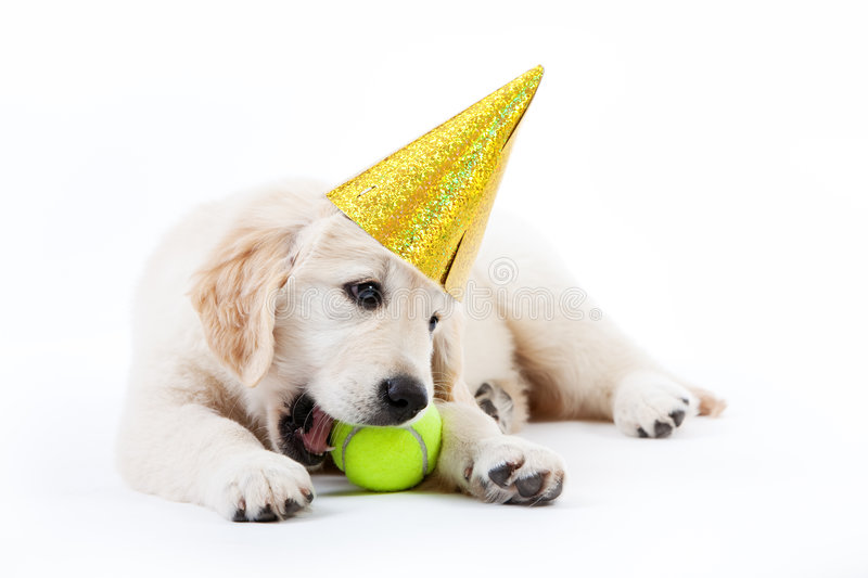 Golden retriever puppy with tennis ball and hat stock images