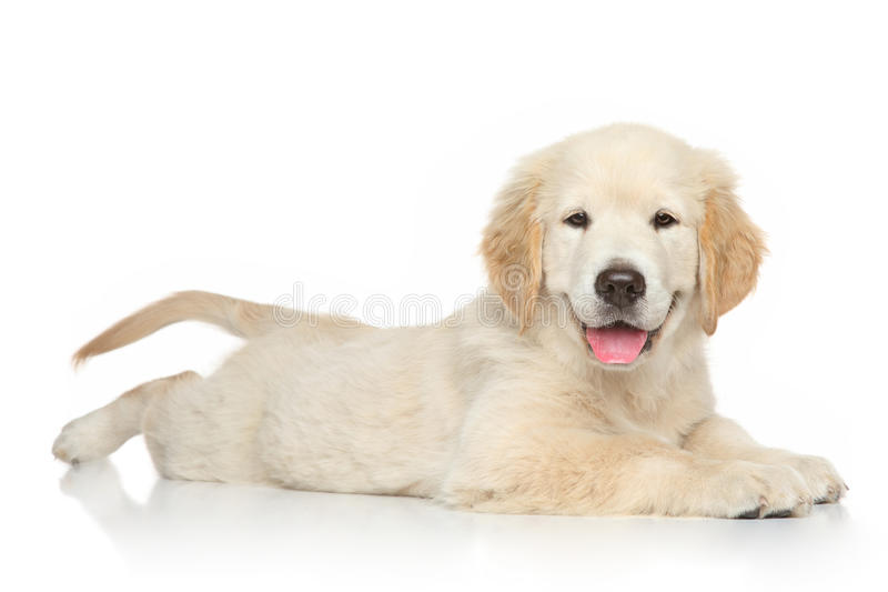 Golden Retriever puppy on white background stock images