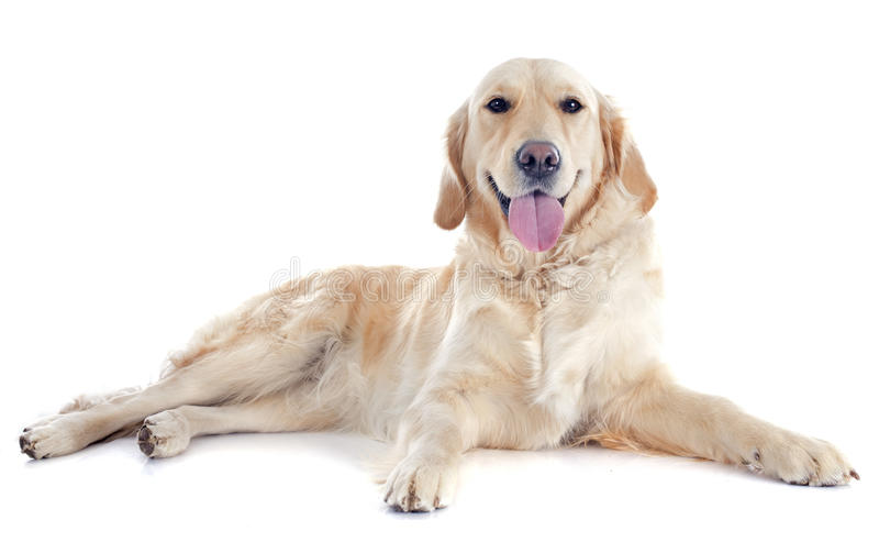 Golden retriever. Purebred golden retriever in front of a white background royalty free stock image