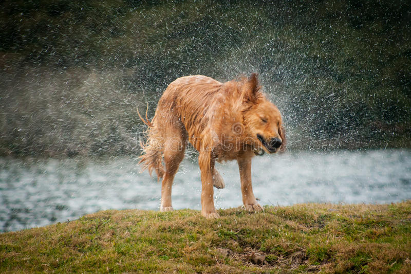 Golden retriever que agita fora da água após nadar em um LAK local imagens de stock royalty free