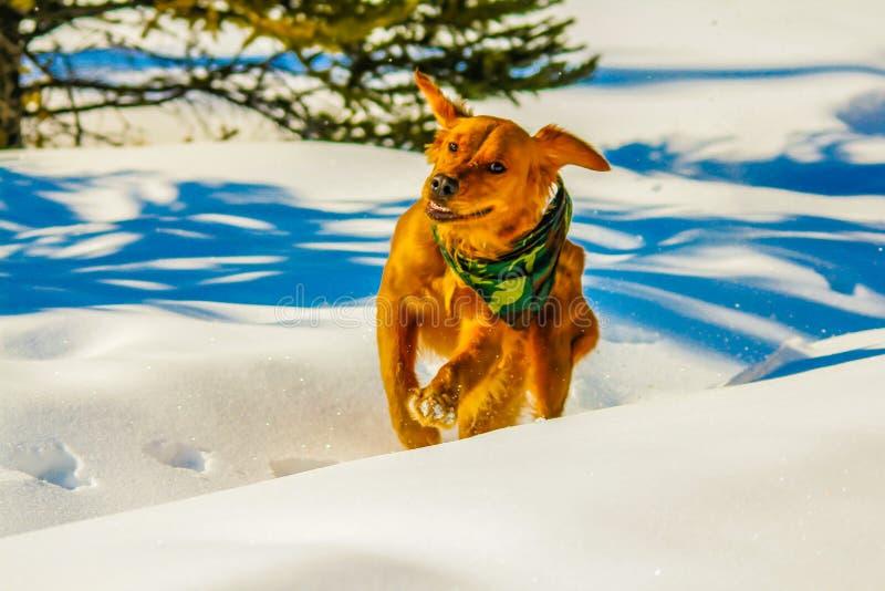 Golden retriever que corre através da neve, Alberta, Canadá fotos de stock