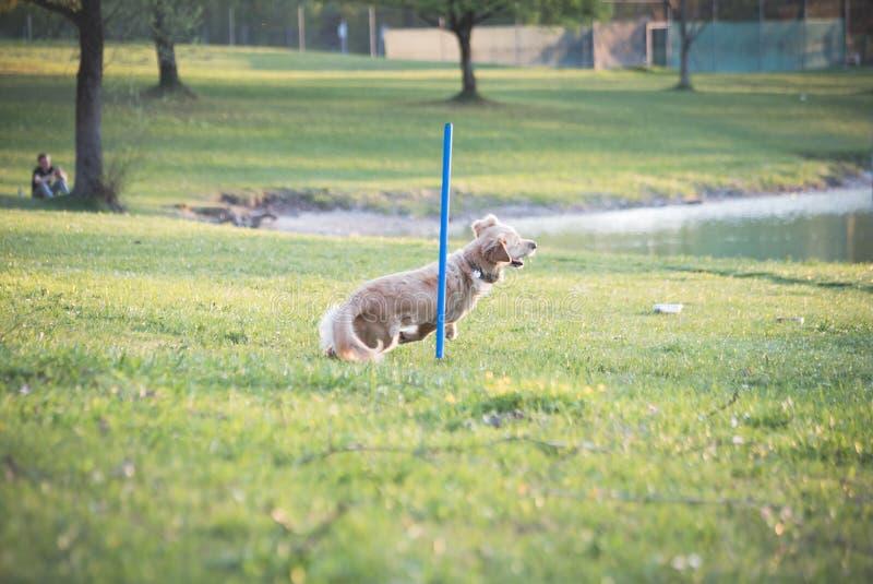 Golden retriever que hace la armadura postes en el ensayo de la agilidad del perro durante puesta del sol fotos de archivo libres de regalías