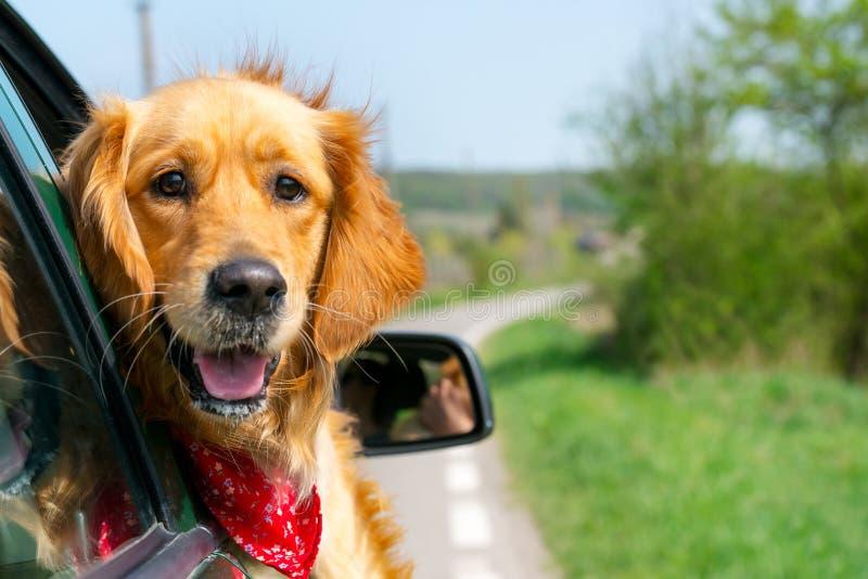 Golden retriever que olha fora do carro foto de stock royalty free