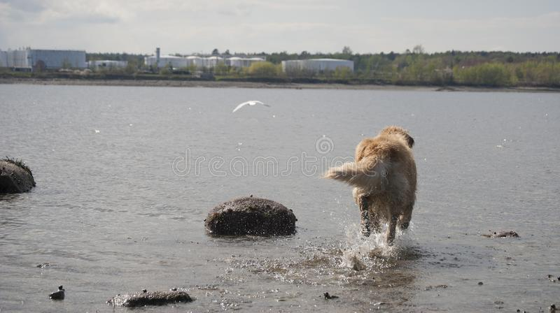 Golden retriever que persegue a gaivota fotografia de stock