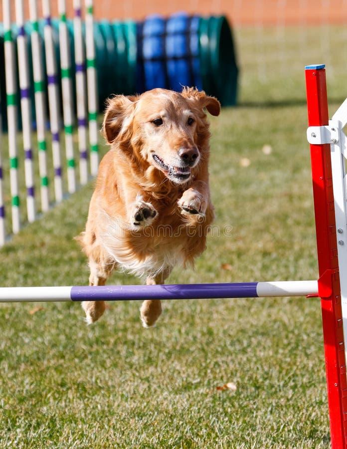 Golden retriever que vai sobre um salto da agilidade imagem de stock