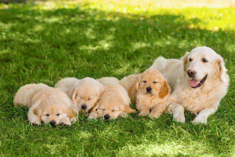 Golden retriever rodzina outdoors zdjęcie stock