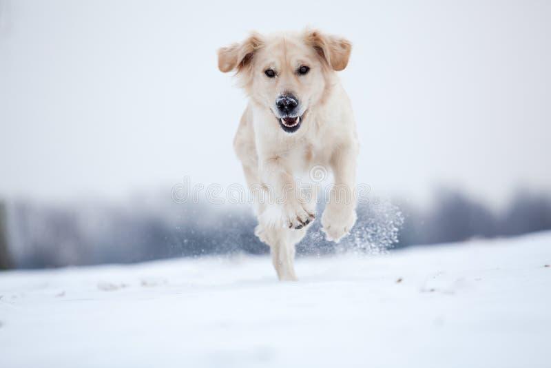 Golden Retriever running in snow stock image