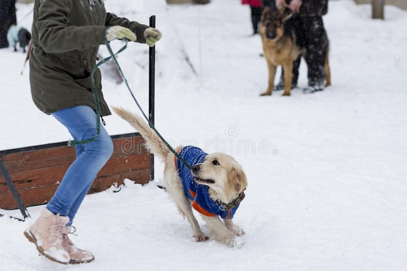 Golden retriever s'exerçant sur la rue en hiver photo stock
