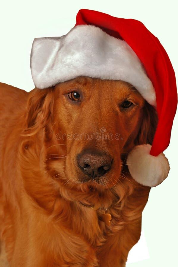 Golden Retriever santa stock image