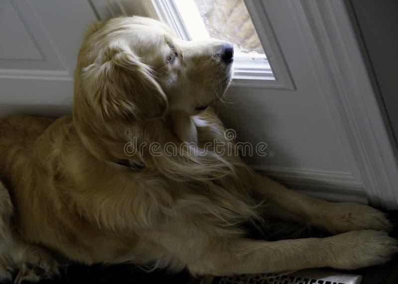 Golden retriever - Scheidingsbezorgdheid royalty-vrije stock afbeelding