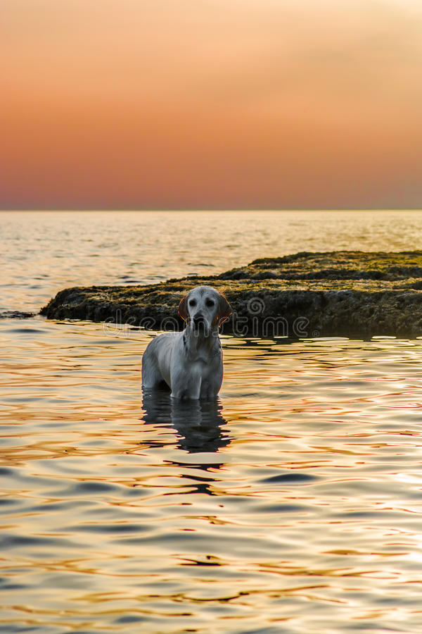 Download Golden Retriever In The Sea Stock Image - Image: 83720233