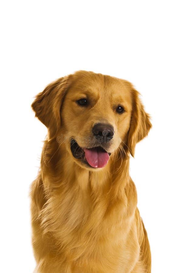 Golden Retriever Series (Canis stock photos
