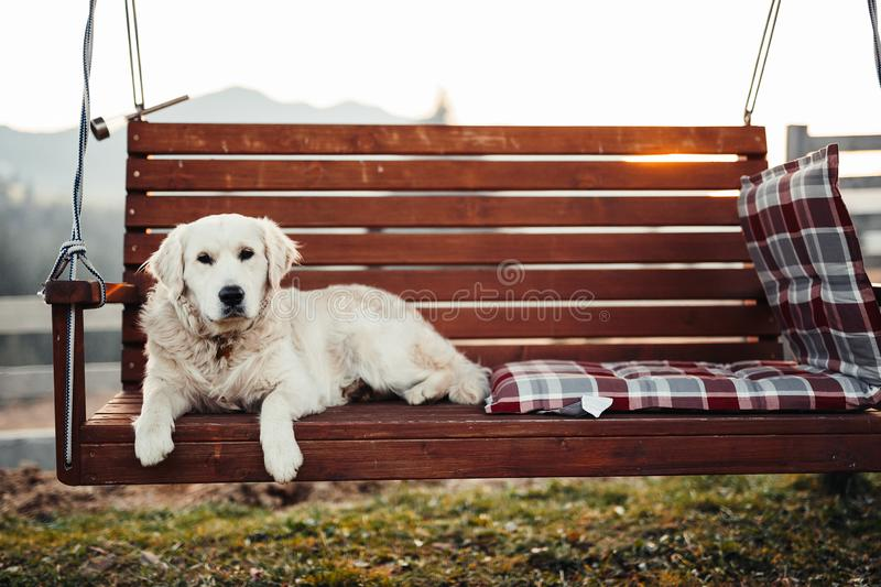 Golden Retriever sitting on banch royalty free stock images